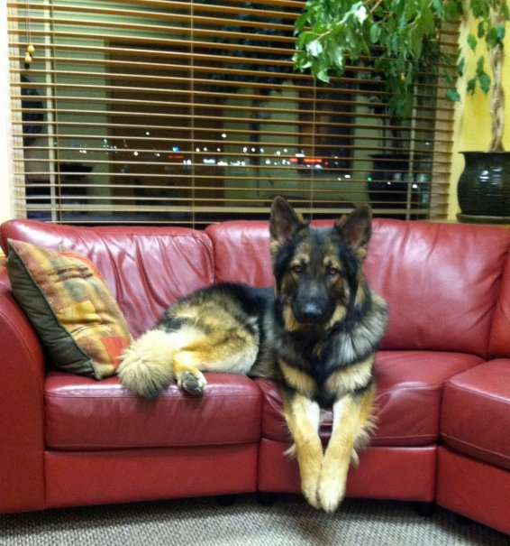 As a therapy dog - Aidan