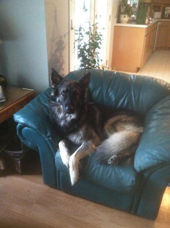 Kai as a therapy dog