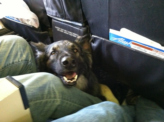 Traveling as a Service dog