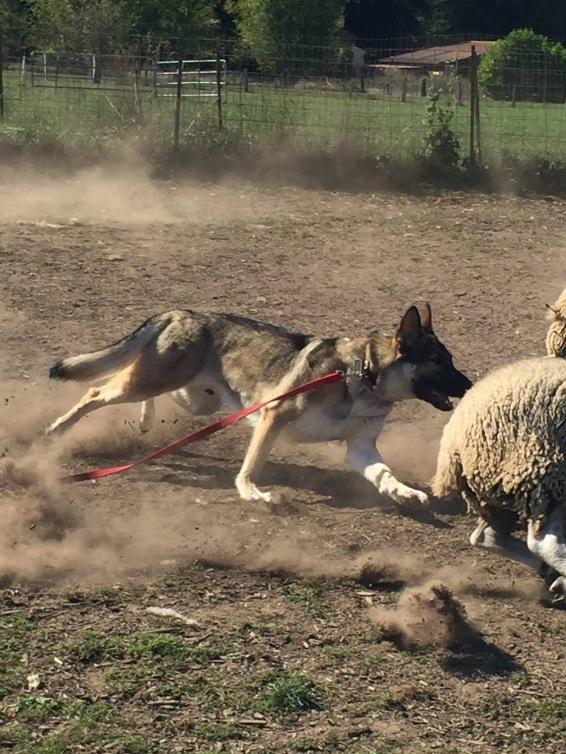 Mercy herding sheep